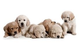 Картинка собаки, щенки, белый фон, детёныши