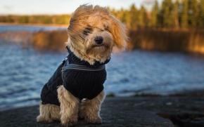 Картинка собака, взгляд, bichon, друг