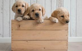 Картинка собаки, щенки, ящик, трио, Голден ретривер, Золотистый ретривер, троица