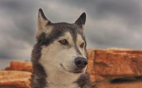 Картинка морда, портрет, собака, хаски