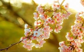 Обои весна, сакура, ветка, цветы, красота
