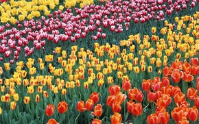 Картинка поле, цветы, тюльпаны