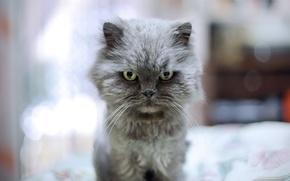 Обои кот, глаза, котэ, взгляд, злюка, фон