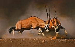 Картинка рога, Африка, Намибия, турнир, Etosha National Park