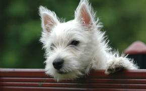 Картинка Ninja, Little, Playful, White dog