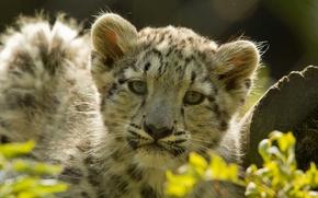 Картинка листья, котенок, хищник, леопард, ирбис, бревно