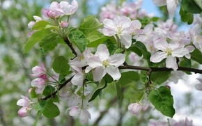 Обои макро, ветки, яблоня, весна