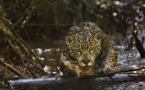Картинка хищник, ягуар, Амазония, (фильм), Amazonia
