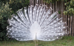 Картинка bird, peacock, barben., paon
