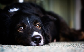 Обои белый, взгляд, черный, собака, пес, лежит, white, black, смотрит, dog