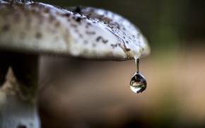 Обои макро, гриб, капля, природа
