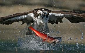 Обои wildlife, salmon, fish, feed, splash, hunting, Northern Pacific Ocean, blueback salmon, kokanee salmon, red salmon, ...