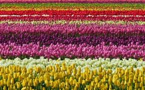 Картинка поле, цвет, тюльпаны
