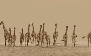 Картинка жирафы, бег, пустыня, Животные