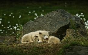 Обои щенки, парочка, Гренландская собака, камень, спящие, собаки, Гренландия