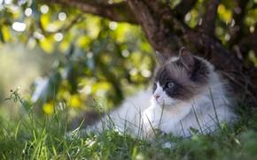 Картинка лежит, на природе, дерево, боке, отдыхает, зелень, блики, трава, котяра, кот