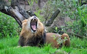 Обои кошка, трава, лев, зевает, пасть