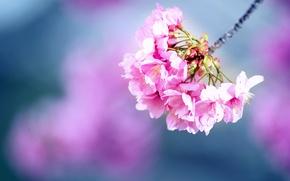 Картинка цветы, ветка, весна, сакура, цветение