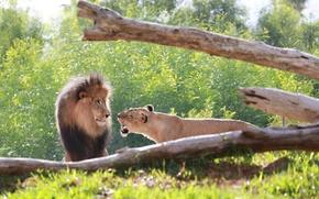 Картинка хищники, грива, львы, морда, дикие кошки, пара, семья, ссора, рык, львица, лев