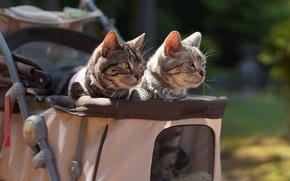 Обои усы, взгляд, коляска, коты