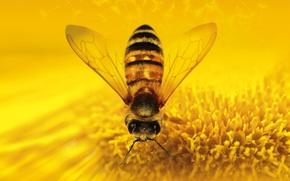 Обои насекомое, пчеловидная муха, цветок, природа
