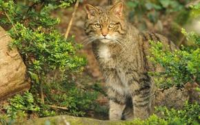 Картинка кошка, кот, куст, дикий, шотландский