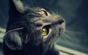 Обои глаза, кот, усы, шерсть, мордочка