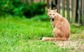 Обои кошка, двор, боке, забор, спина, хвост, прямой взгляд, трава