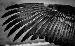 Обои крыло, перья, черно-белое, птица