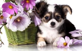 Картинка цветы, корзина, собака, щенок, чихуахуа, космея, мальвы