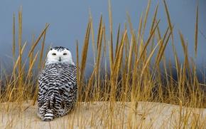 Картинка песок, трава, взгляд, сова, колоски, полярная