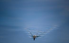 Обои вода, природа, утка
