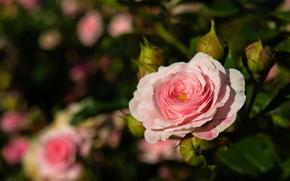 Картинка капли, розовый, роза, бутоны