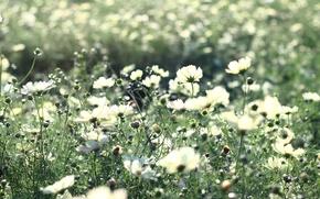 Картинка цветы, красота, космея, стебли, светлые, поляна, тепло, поле, цветение, лучи, свет, природа, растения, белые, лепестки, ...