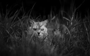 Картинка трава, кот, взгляд, кошак, котяра