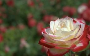 Картинка поле, природа, обои, роза, лепестки, луг