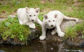 Картинка кошка, трава, котята, львята, белые львы, водоём, львёнок