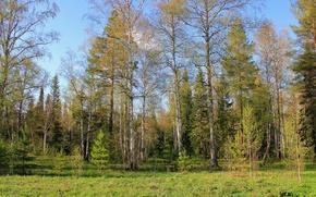 Картинка лес, небо, трава, деревья