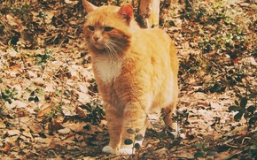 Картинка осень, кошка, Лис, лето, кот, настроение, Природа, погода, охотник, солнце., 2014, Ноябрьск