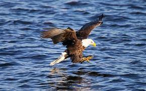 Картинка вода, полет, птица, крылья, когти, Животные, Американский орел