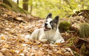 Обои листья, осень, щенок, Якутская лайка, собака