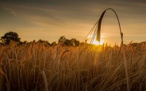 Обои закат, поле, пшеница, колосья, колос