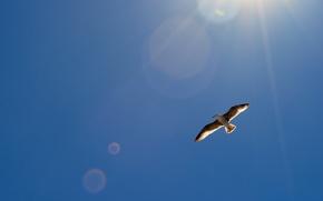 Картинка небо, солнце, блики, птица, крылья, чайка, в воздухе, парит