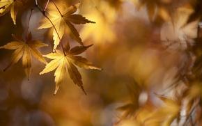 Обои клён, золотой, листва, ветки, осень