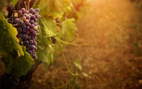 Картинка виноград, гроздь, усики
