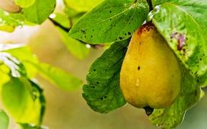Обои листва, ветка, груша, жёлтая, спелая