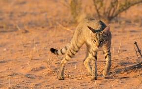 Картинка кот, дикий, африканский