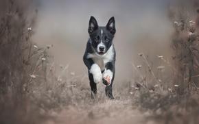 Обои собака, щенок, бежит, Border Collie, пес, порода
