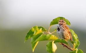 Картинка music, wildlife, sparrow, singing