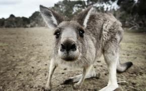 Картинка макро, природа, kangaroo